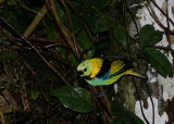 Green-backed Tanager