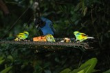 Green-backed Tanager, Azure Jay
