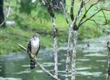 Barred Forest-Falcon, Juvenile