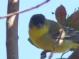 goldfinch, lesser SFCA 10-08a.JPG