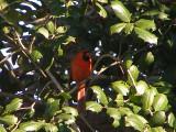 Cardinal 2-09 a.JPG