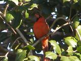 Cardinal 2-09 b.JPG