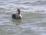 Duck Eider king CBBT 1-09 a.JPG