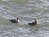 Duck Eider king CBBT 1-09 aa.JPG