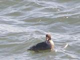 Duck Eider king CBBT 1-09 b.JPG