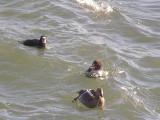 Duck Eider king CBBT 1-09 cc.JPG