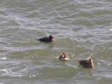 Duck Eider king CBBT 1-09 cd.JPG