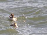 Duck Eider king CBBT 1-09 d.JPG