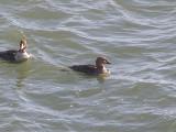 Duck Eider king CBBT 1-09 dd.JPG