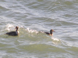 Duck Eider king CBBT 1-09 e.JPG