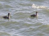 Duck Eider king CBBT 1-09 ee.JPG