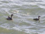 Duck Eider king CBBT 1-09 ef.JPG