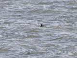 Duck scoter black CBBT 1-09a.JPG