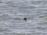 Duck scoter black CBBT 1-09aa.JPG