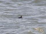 Duck scoter black CBBT 1-09aaa.JPG