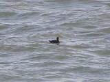 Duck scoter black CBBT 1-09aaab.JPG