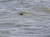 Duck scoter black CBBT 1-09aab.JPG