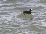 Duck scoter surf CBBT 1-09a.JPG