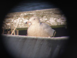 Gull Glaucous ESVA 1-09 a.JPG