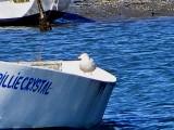 Gull Glaucous ESVA 1-09 ac.JPG