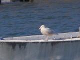 Gull Glaucous ESVA 1-09 c.JPG