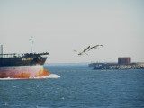 pelicans Br CBBT 1-09.JPG