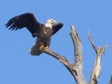 Eagle Bald Eagle ESVA 1-09 a.JPG