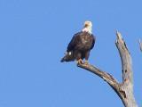 Eagle Bald Eagle ESVA 1-09 e.JPG