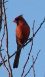 Cardinal 02-11 Hampton a.JPG