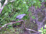 Catbird, Athens Ga.JPG