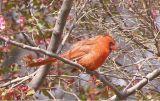 Cardinal, VA 3-06.JPG