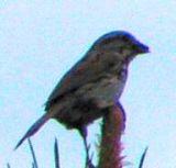 sparrow Vesper Mio Mi.jpg