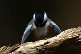 Black-capped Chickadee. Kewaskum, WI