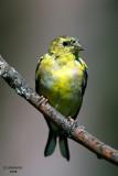 American Goldfinch. Kewaskum, WI