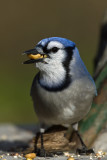Blue Jay. Kewaskum, WI