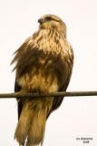 Rough-legged Hawk. Anacortes, WA