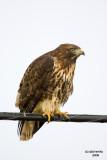 Red-tailed Hawk. Anacortes, WA