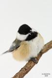 Black-capped Chickadee. La Crosse, WI
