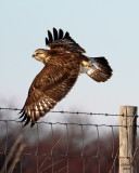 Rough-legged Hawk. Port Washington area. WI