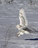 Snowy Owl. Belguim, WI