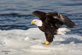 Bald Eagle. Burlington, IA