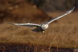 Hawks and Owls, etc
