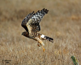 Northern Harrier. Whidbey Is. WA