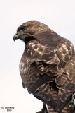 Juv. Red-tailed Hawk. Whidbey Is. WA