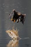 Bald Eagle. Anacortes, WA