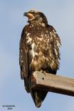 Bald Eagle. Samish Flats. WA