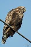 Rough-legged Hawk. Samish Flats, WA
