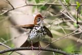 Wood Thrush. Pheasant Branch, Middleton, WI