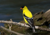 American Goldfinch. Crown City, OH
