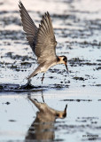 Black Tern. Horicon Marsh, WI